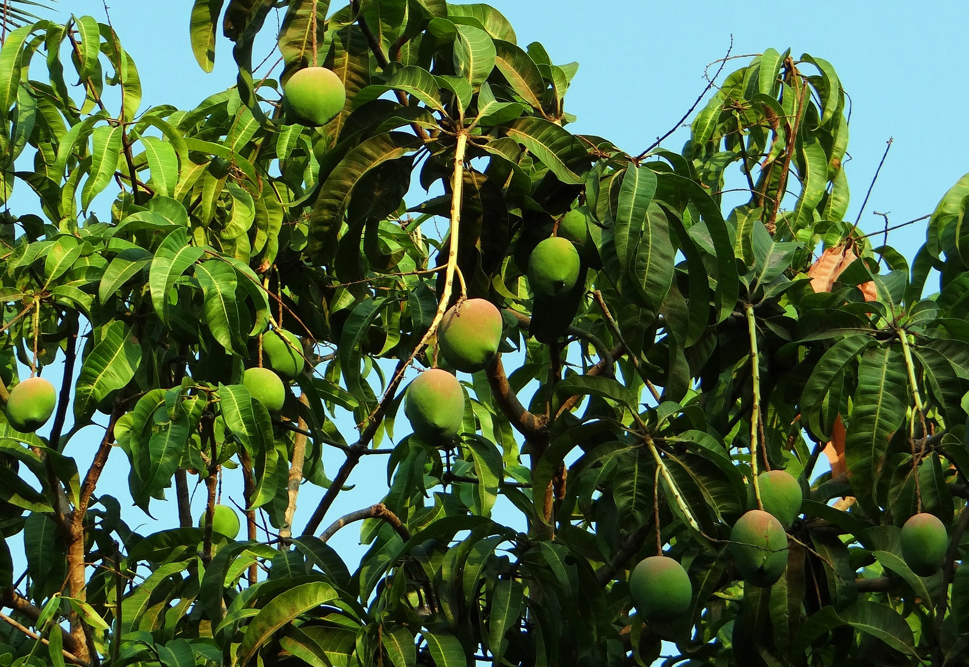 mango-tree-321075_1920